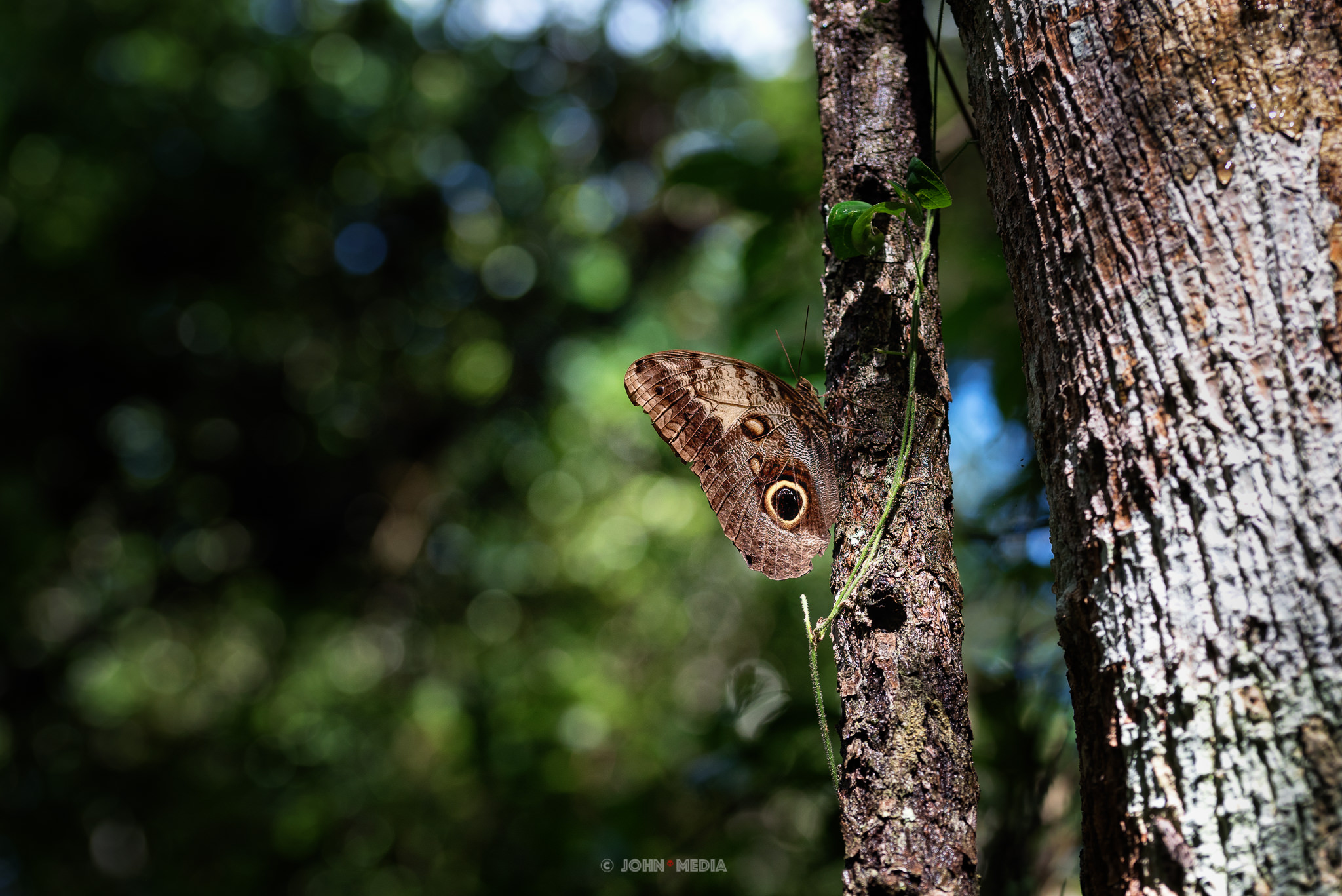 Polyphemus Moth in the Mexican jungle